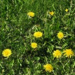 Overseeding in fall with dandelion control